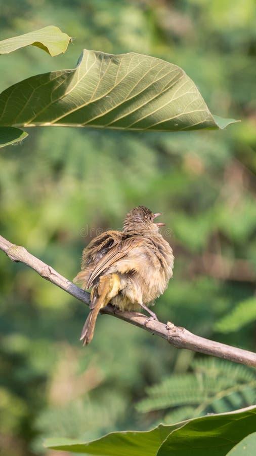 Fågel (Strimma-gå i ax bulbul) på träd i den lösa naturen arkivfoto