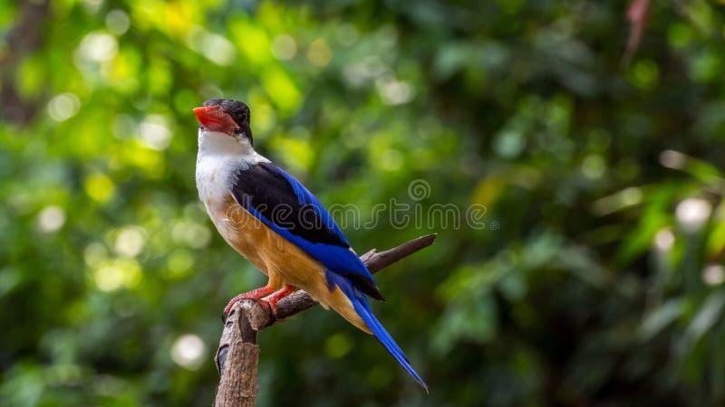 Fågel (Svart-korkad kungsfiskare) på ett träd royaltyfri foto