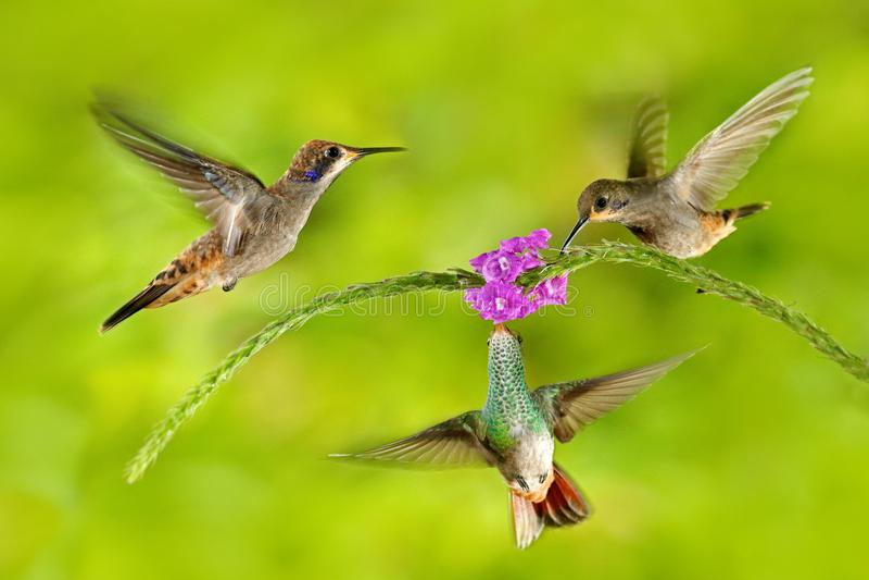 Fågel tre med rosa färgblomman Brunt Violett-öra för kolibri som flyger bredvid härlig violett blom, trevlig blommig grön bakgrun royaltyfria bilder