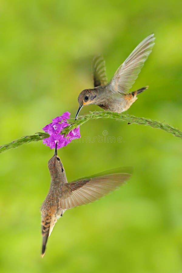 Fågel två med rosa färgblomman Brunt Violett-öra för kolibri, Colibri delphinae, fågelflyg bredvid härlig violett blom, trevlig f royaltyfria bilder