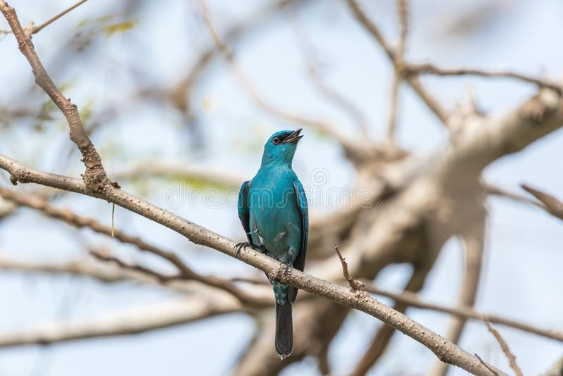 Fågel (Verditer flugsnappare) på träd i den lösa naturen fotografering för bildbyråer