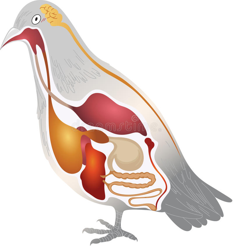 Fågelanatomi royaltyfri illustrationer