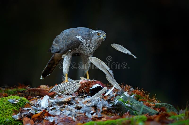 Fågelbahaviour, djurlivplats från naturen Goshawk med den dödade gemensamma fasanen på mossan i den gröna skogen, fågel av rovet  arkivbild