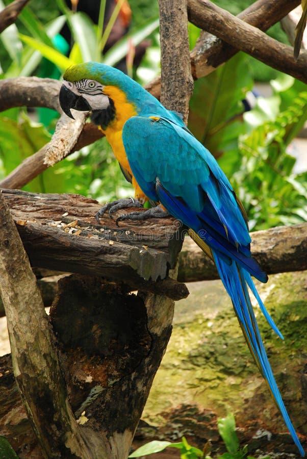 fågelbluemacaw fotografering för bildbyråer