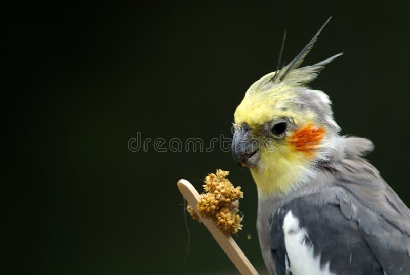 fågelcockatiel som har lunch fotografering för bildbyråer