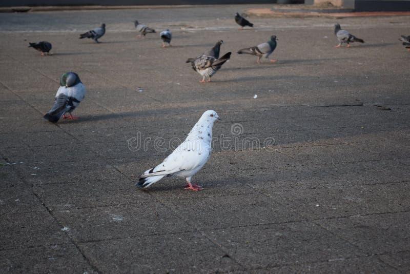 Fågelduva på taklägga royaltyfria foton