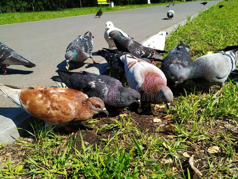 Fågelduvor, några stycken och olika färger Hackmat på jordningen, på det gröna gräset solig dagsommar fotografering för bildbyråer