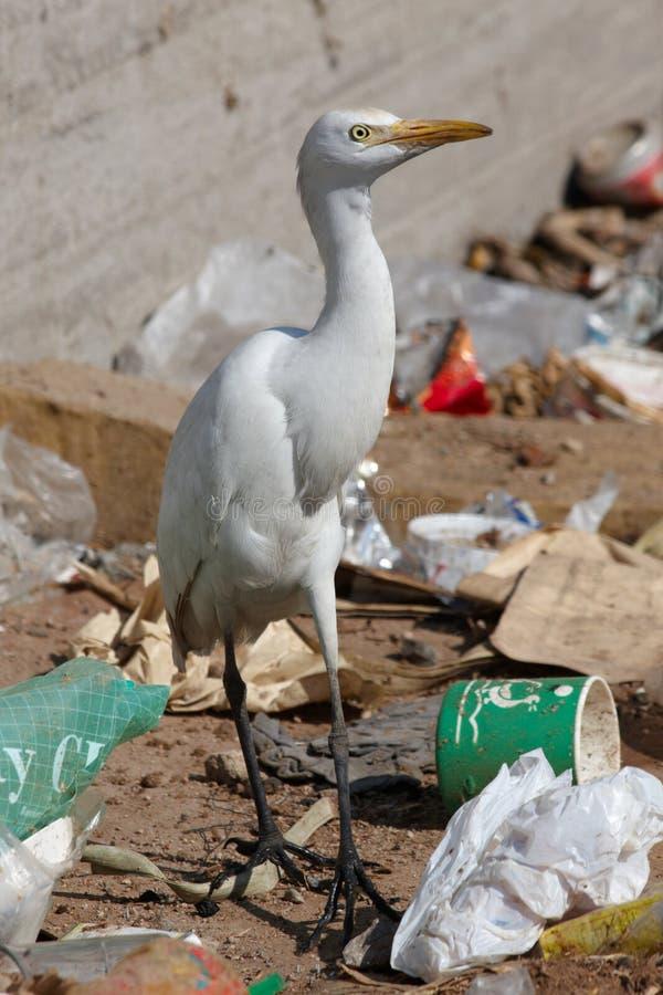 fågelegretnedgrävning av sopor arkivfoto