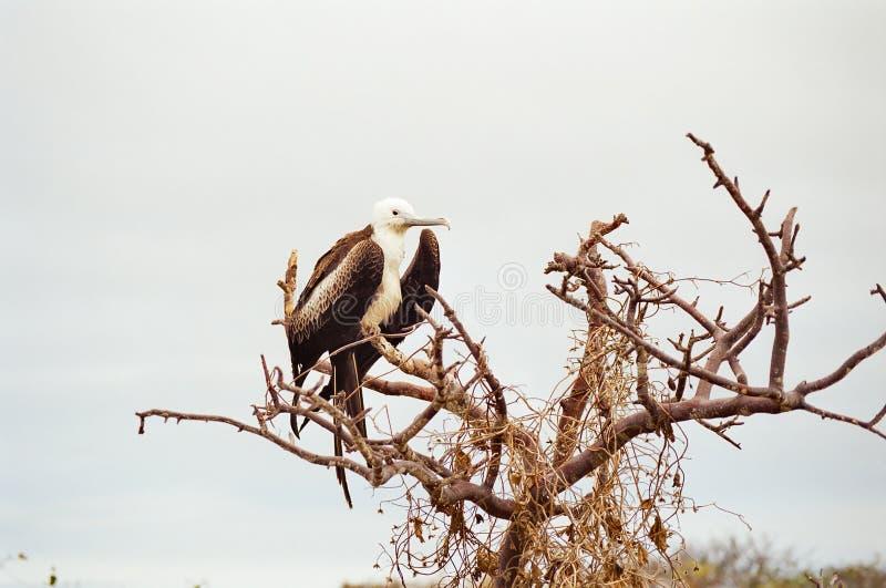 fågelfågelungefrigate galapagos arkivfoto