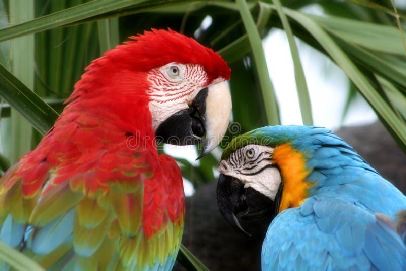 fågelförälskelse royaltyfri bild
