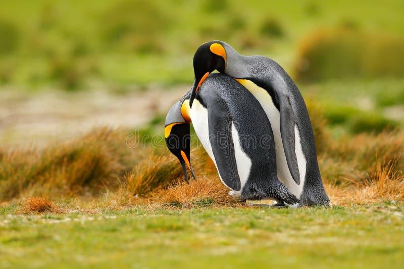 Fågelförälskelse Kel för par för konungpingvin, lös natur, grön bakgrund Två pingvin som gör förälskelse I gräset Djurlivplats fö royaltyfria bilder