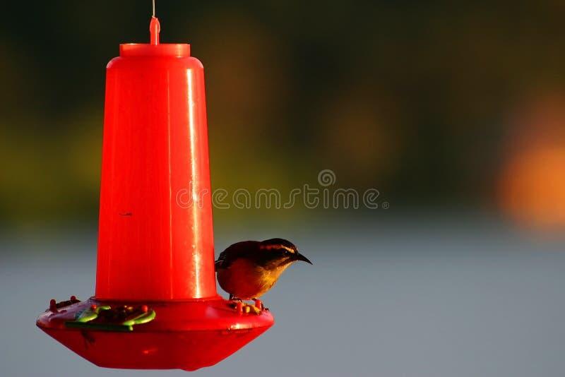 fågelförlagemataretanager royaltyfri fotografi