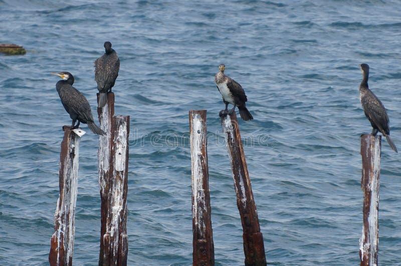 Fågelfamilj av stora kormoran fotografering för bildbyråer