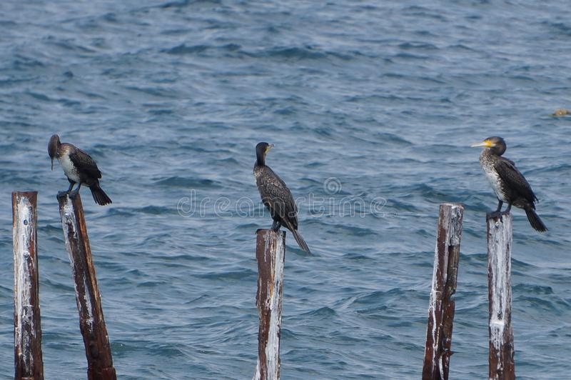 Fågelfamilj av stora kormoran arkivbild