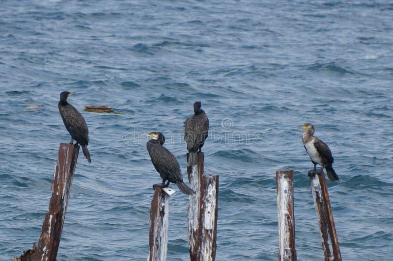 Fågelfamilj av stora kormoran arkivfoto