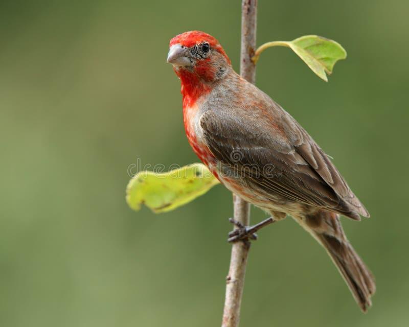 fågelfinchhus royaltyfri foto