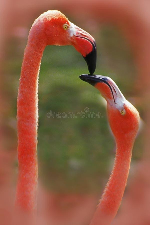 fågelflamingoförälskelse arkivfoton