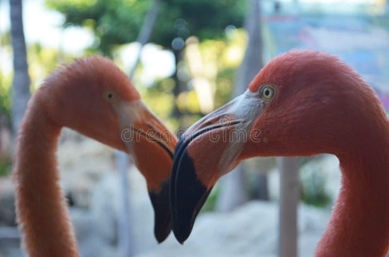 fågelflamingopink två arkivbilder