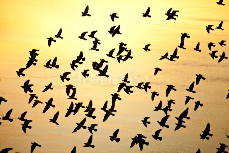 fågelflocksilhouette royaltyfri foto