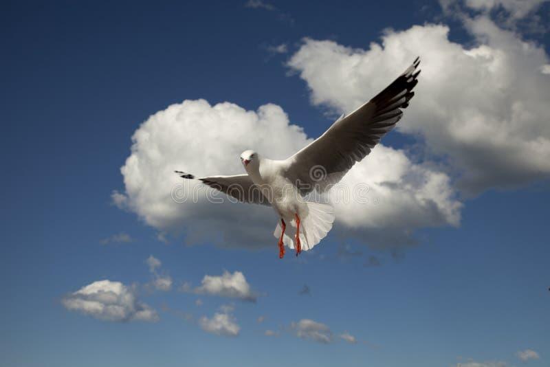 Download Fågelflyg arkivfoto. Bild av fiskmås, fjädrar, wild, flyg - 19791990