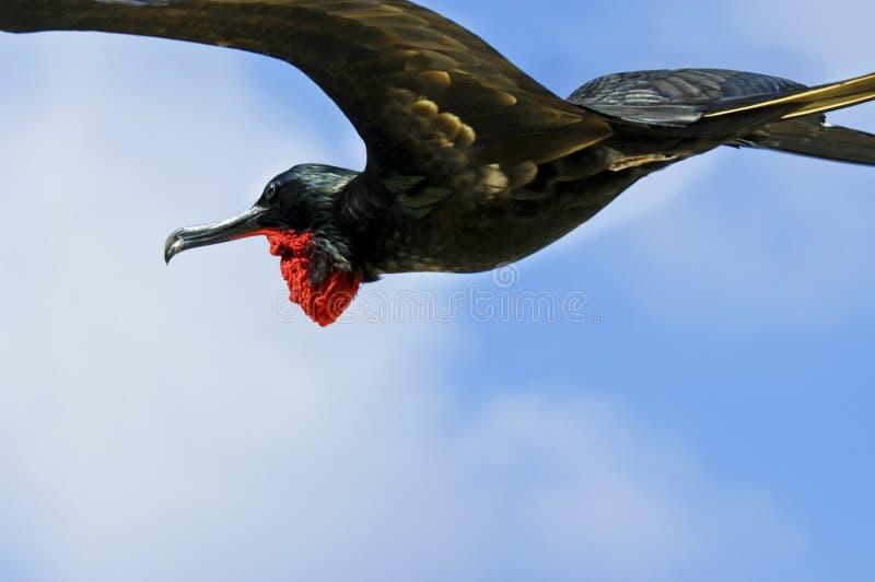 fågelflygfrigate galapagos royaltyfri bild