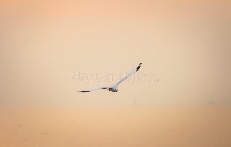 FågelflygSeagull på solnedgånghimmelsymbol av frihetsbegreppet royaltyfri fotografi