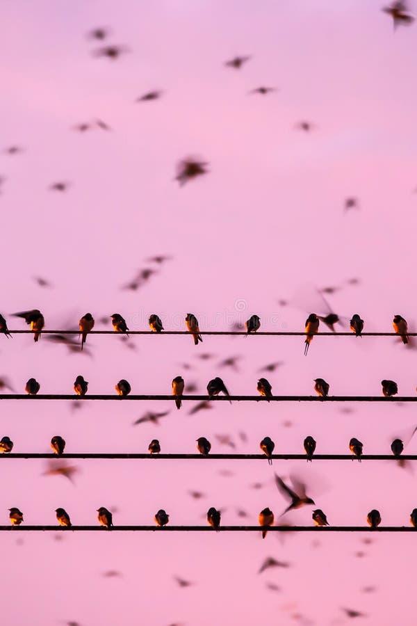 Fågelflyttning, flock av ladugårdsvalan på trådar och flyg i solnedgånghimmel Betong stad, Yala, sydliga Thailand timmar liggande arkivfoto