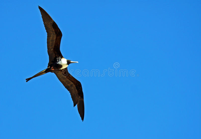 fågelfrigate arkivfoton