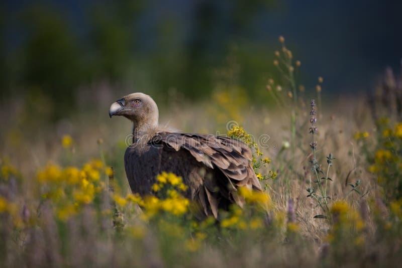 fågelfulvusen gyps den lipetskrovrussia zooen Den lösa naturen av Bulgarien fri natur r Rhodopes stor fågel Berg i Bulgarien E arkivfoto