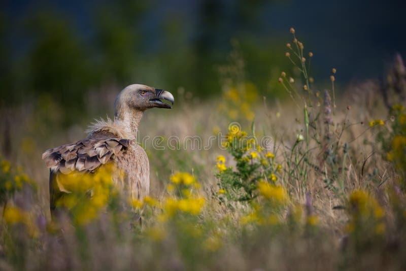 fågelfulvusen gyps den lipetskrovrussia zooen Den lösa naturen av Bulgarien fri natur r Rhodopes stor fågel Berg i Bulgarien E royaltyfri foto