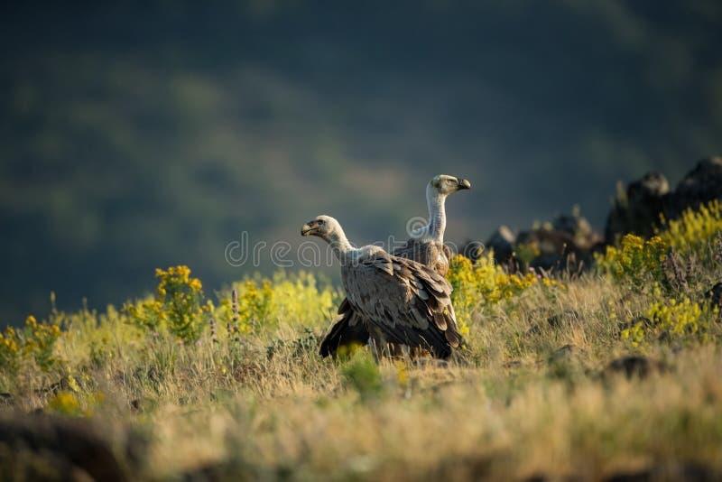 fågelfulvusen gyps den lipetskrovrussia zooen Den lösa naturen av Bulgarien fri natur r Rhodopes stor fågel Berg i Bulgarien E arkivfoton