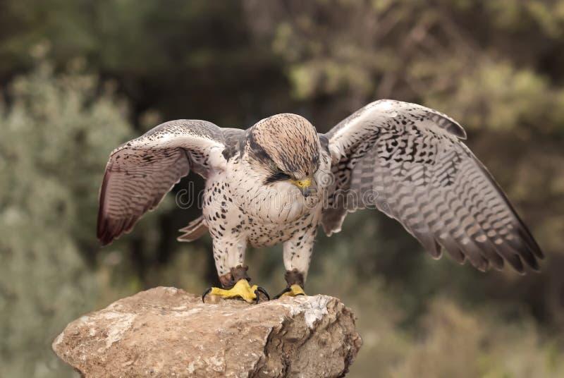 Fågelhök som håller ögonen på dess rov arkivbilder