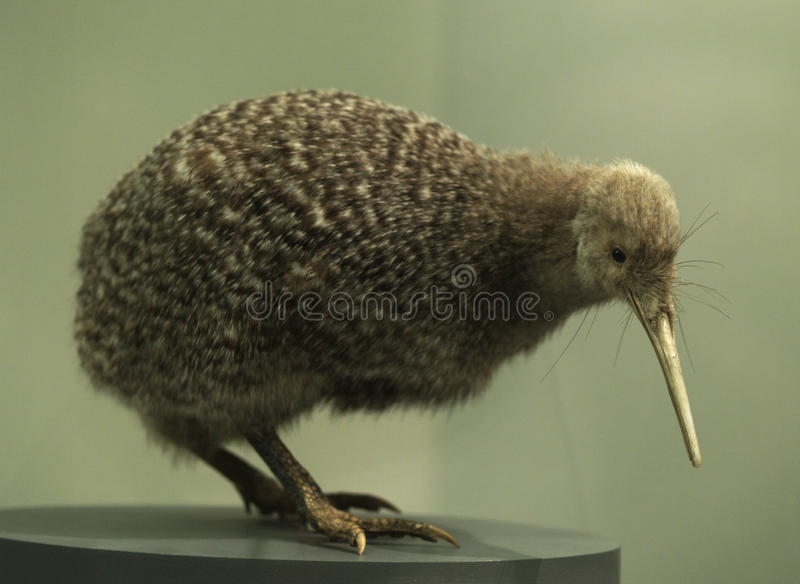 fågelkiwi royaltyfri bild