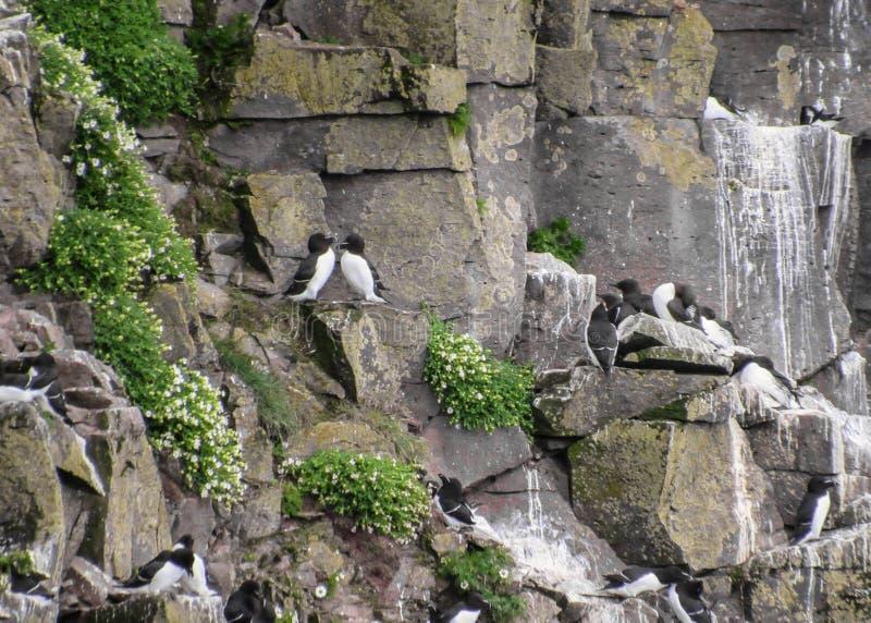 Fågelklippor på LÃ-¡ trabjarg, Westfjords av Island royaltyfria foton