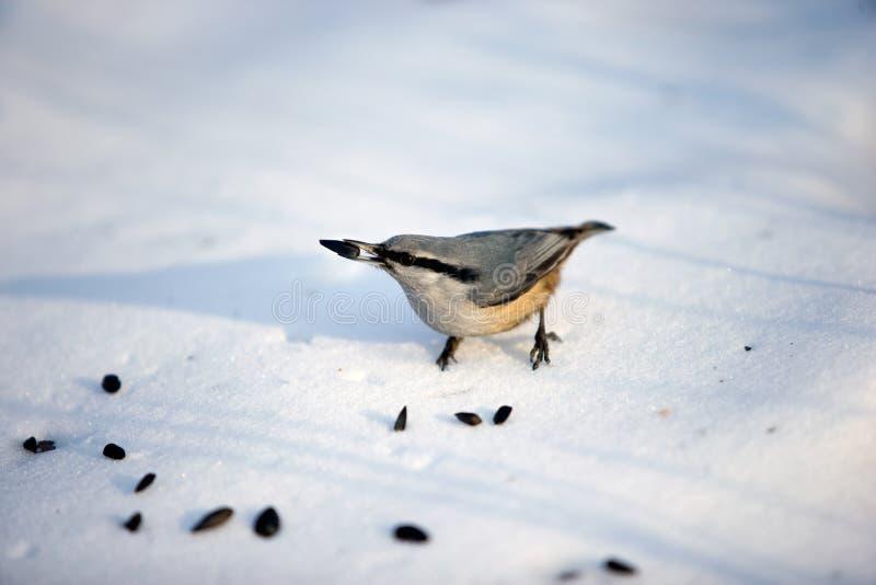 Fågelkornknarr, skog, snö, solig dag royaltyfria bilder
