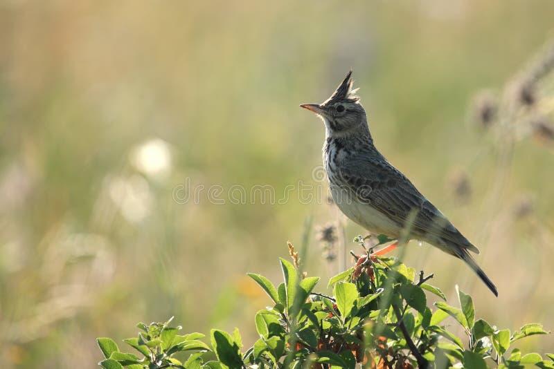 fågellärka arkivbild