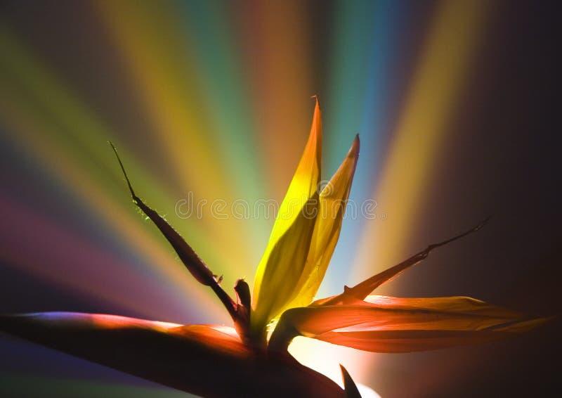 fågelliljaparadis royaltyfri bild