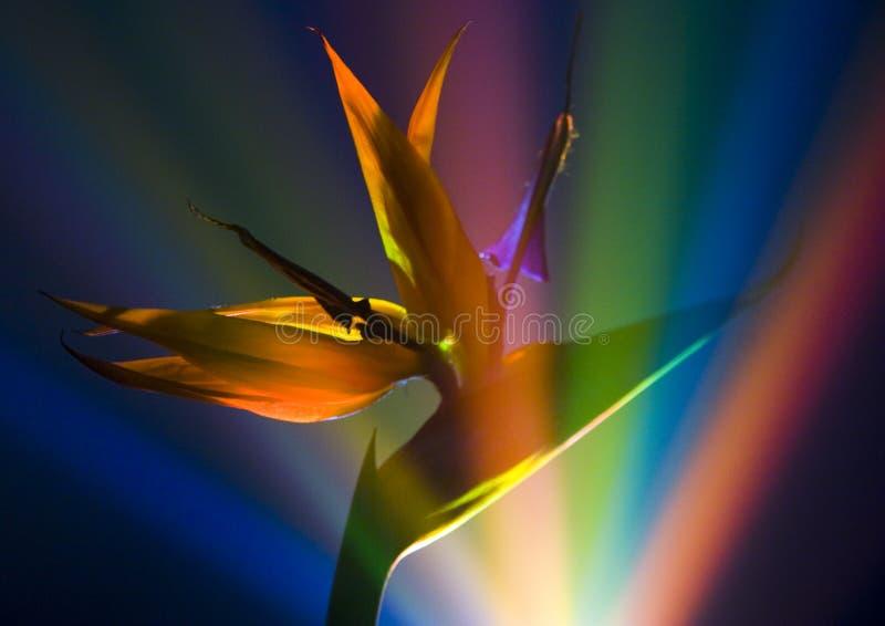 fågelliljaparadis royaltyfri fotografi