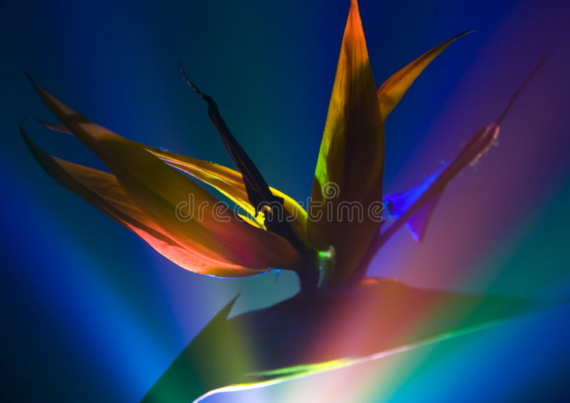 fågelliljaparadis royaltyfria foton