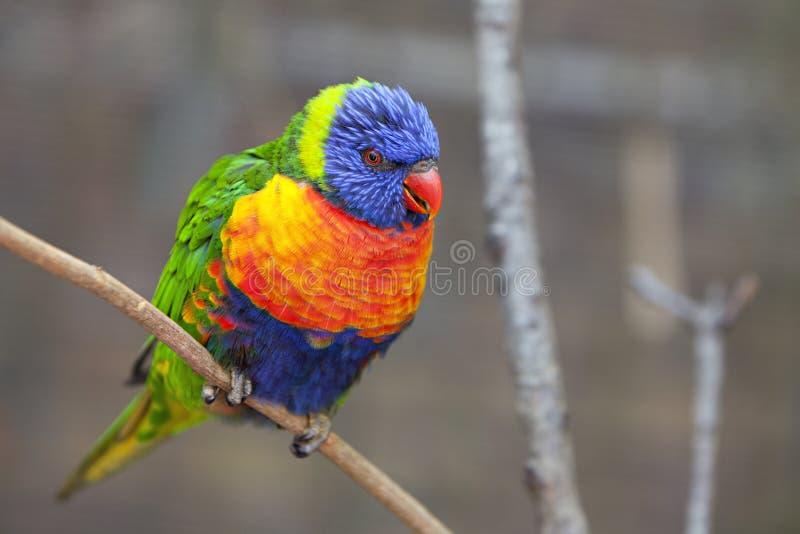 fågellorikeet royaltyfri foto