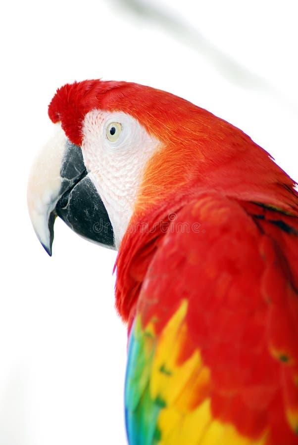 fågelmacawred arkivfoto