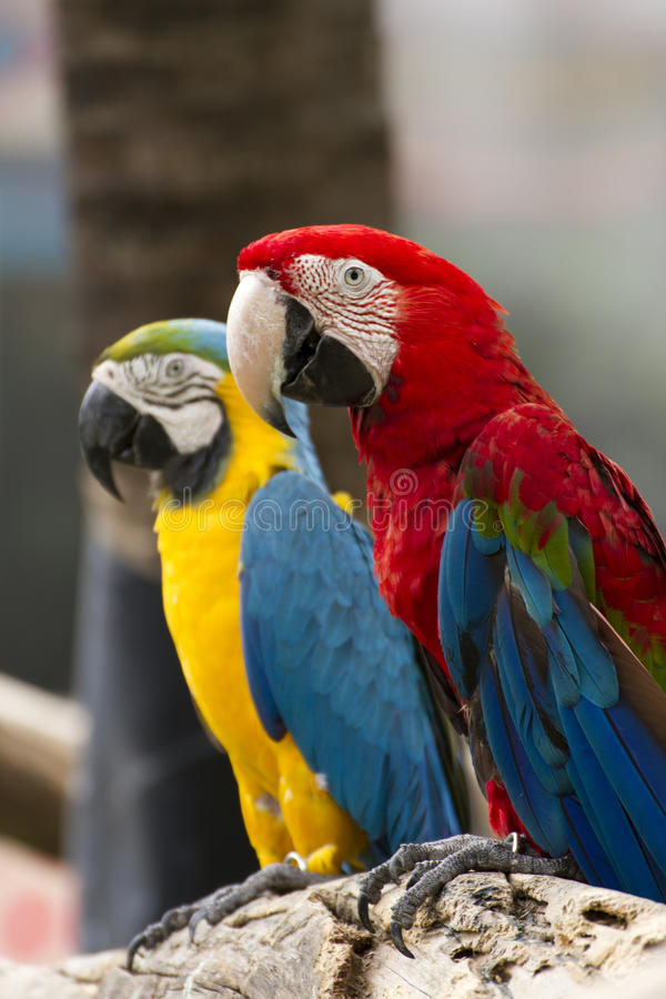 fågelmacaws royaltyfri bild