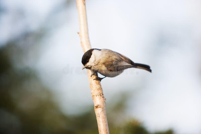 Fågelmes på en filial i vinter royaltyfria foton
