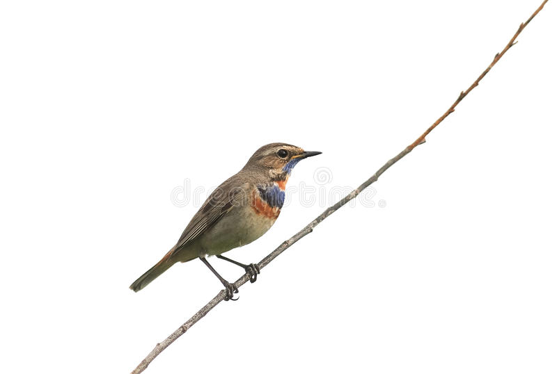 Fågeln är ett manligt Bluethroatsammanträde på en isolerad filial royaltyfria foton
