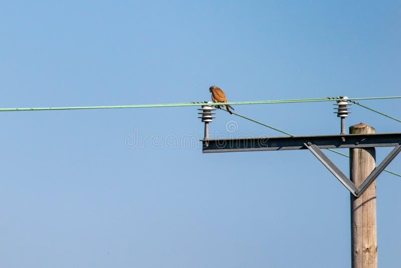 Fågeln av den rovtornfalkFalco tinnunculusen sätta sig på en telegraftråd royaltyfria bilder
