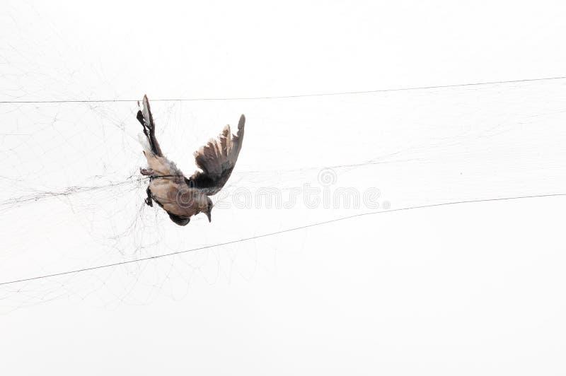 Fågeln fångades av en trädgårdsmästare på ett ingrepp på vit bakgrund arkivfoton