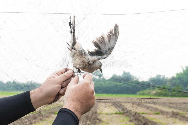 Fågeln fångades av trädgårdsmästarehanden som var hållande på ett ingrepp på vit bakgrund royaltyfri fotografi