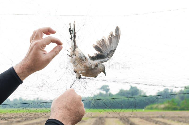 Fågeln fångades av trädgårdsmästarehanden som var hållande på ett ingrepp på vit bakgrund arkivfoto