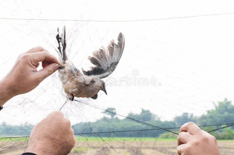 Fågeln fångades av trädgårdsmästarehanden som var hållande på ett ingrepp på vit bakgrund royaltyfri bild