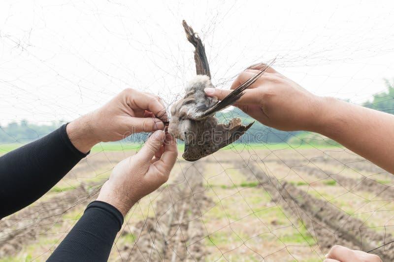 Fågeln fångades av trädgårdsmästarehanden som var hållande på ett ingrepp på vit bakgrund fotografering för bildbyråer